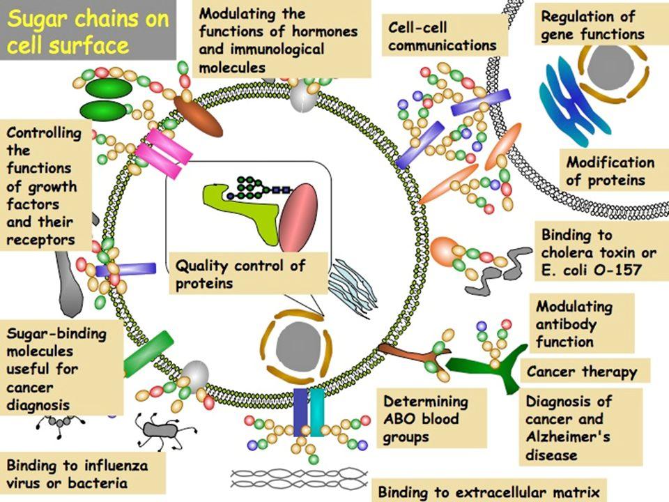 Biochimica FUNZIONI DEI GLUCIDI ENERGETICA: costituiscono la fonte energetica di più immediata e rapida utilizzazione STRUTTURALE: in quanto componenti delle strutture vegetali (es.