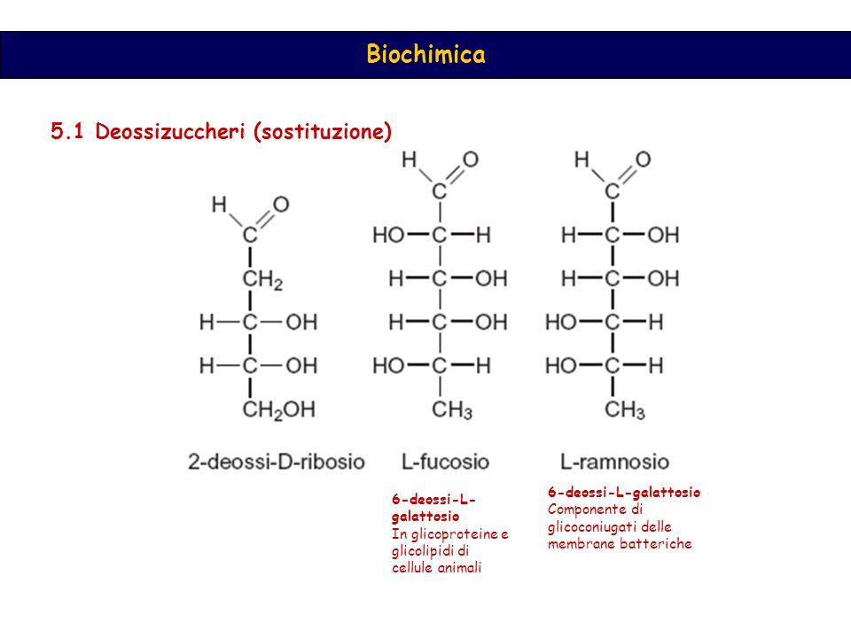 Biochimica 5.1 Deossizuccheri (sostituzione) 6-deossi-L-galattosio Componente di glicoconiugati delle membrane batteriche 6-deossi-L- galattosio In glicoproteine e glicolipidi di cellule animali