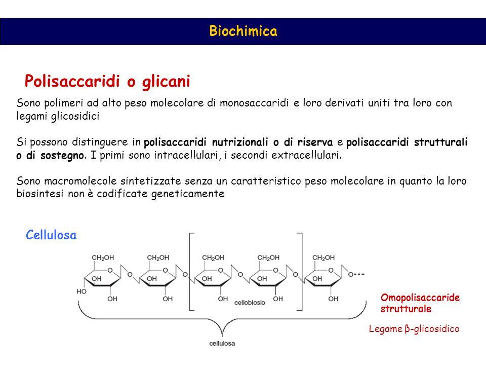 Biochimica Polisaccaridi o glicani Sono polimeri ad alto peso molecolare di monosaccaridi e loro derivati uniti tra loro con legami glicosidici Si possono distinguere in polisaccaridi nutrizionali o di riserva e polisaccaridi strutturali o di sostegno.