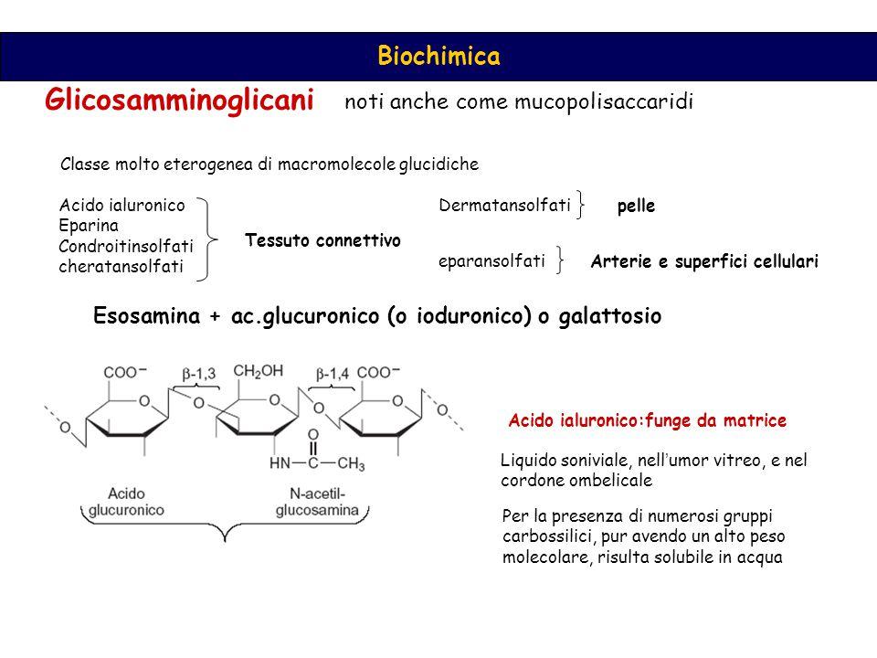 Biochimica Glicosamminoglicani noti anche come mucopolisaccaridi Acido ialuronico Eparina Condroitinsolfati cheratansolfati Tessuto connettivo Dermatansolfatipelle eparansolfatiArterie e superfici cellulari Esosamina + ac.glucuronico (o ioduronico) o galattosio Acido ialuronico:funge da matrice Liquido soniviale, nell ' umor vitreo, e nel cordone ombelicale Per la presenza di numerosi gruppi carbossilici, pur avendo un alto peso molecolare, risulta solubile in acqua Classe molto eterogenea di macromolecole glucidiche