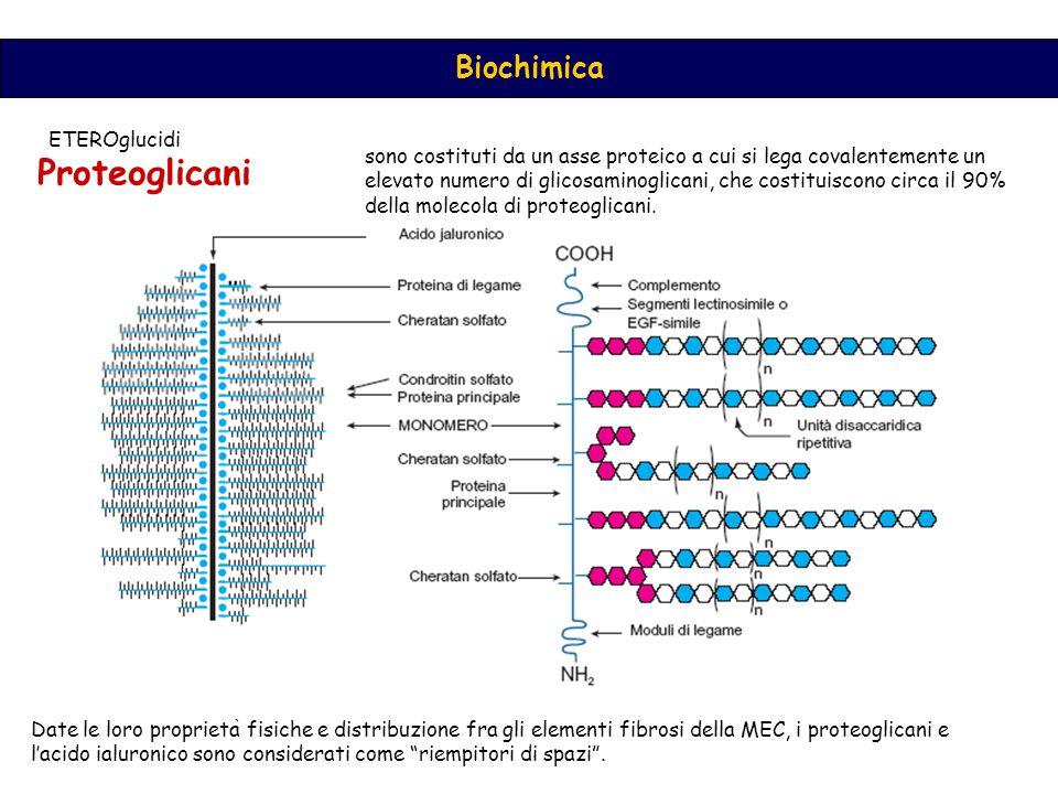 Biochimica Proteoglicani sono costituti da un asse proteico a cui si lega covalentemente un elevato numero di glicosaminoglicani, che costituiscono circa il 90% della molecola di proteoglicani.