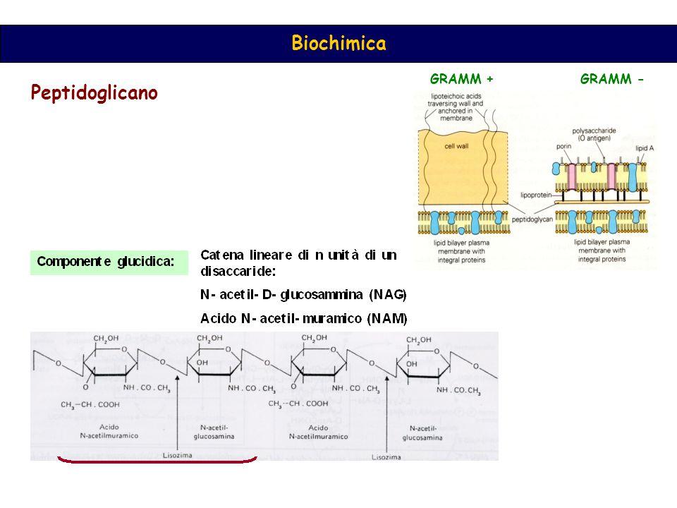Biochimica Peptidoglicano GRAMM + GRAMM -