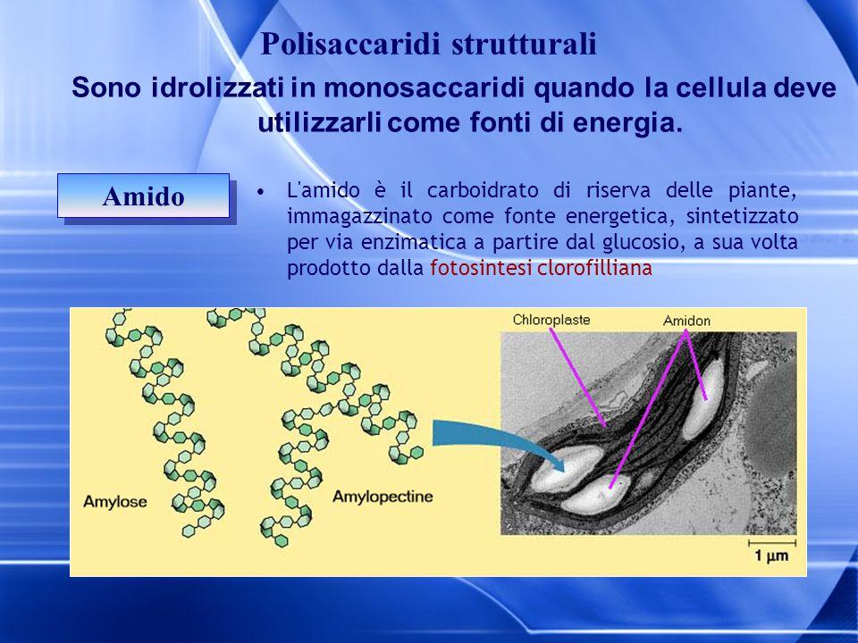 Sono idrolizzati in monosaccaridi quando la cellula deve utilizzarli come fonti di energia. Amido L'amido è il carboidrato di riserva delle piante, im