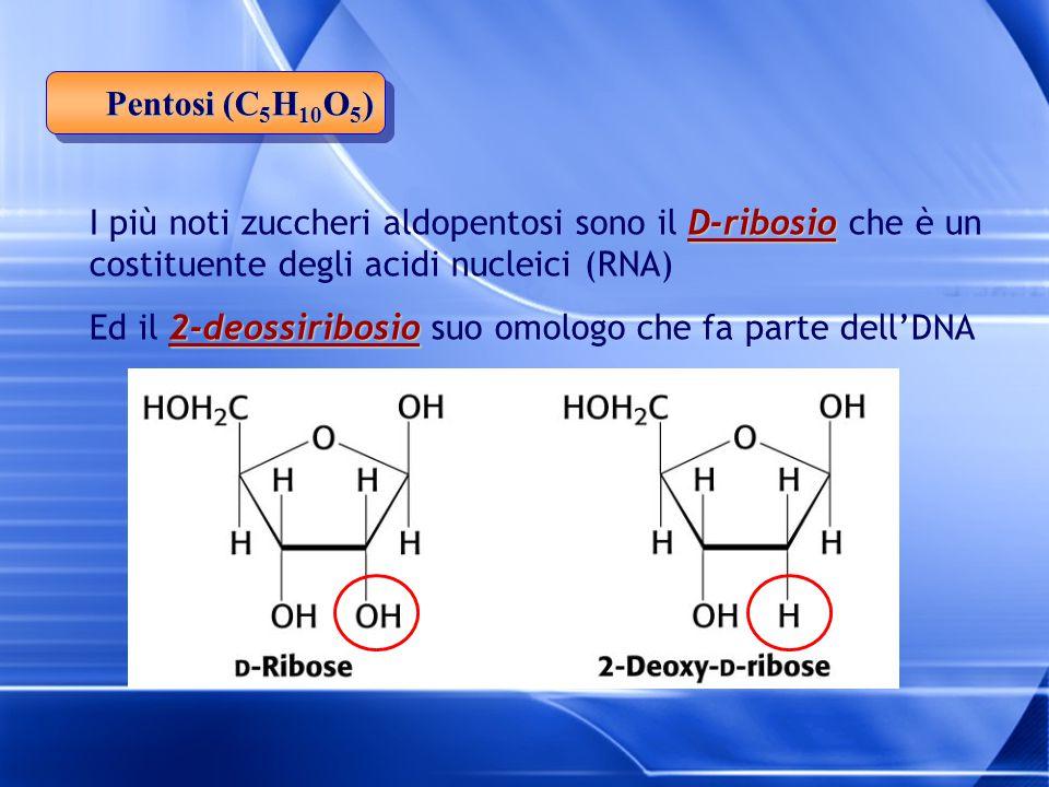 D-ribosio I più noti zuccheri aldopentosi sono il D-ribosio che è un costituente degli acidi nucleici (RNA) 2-deossiribosio Ed il 2-deossiribosio suo