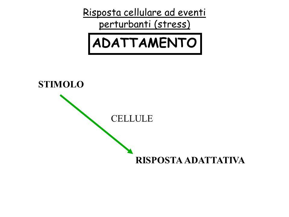 Risposta cellulare ad eventi perturbanti (stress) ADATTAMENTO STIMOLO CELLULE RISPOSTA ADATTATIVA