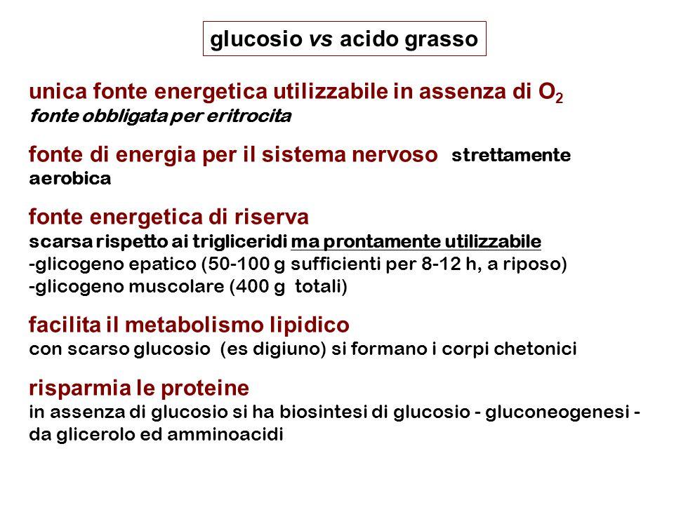 unica fonte energetica utilizzabile in assenza di O 2 fonte obbligata per eritrocita fonte di energia per il sistema nervoso strettamente aerobica fonte energetica di riserva scarsa rispetto ai trigliceridi ma prontamente utilizzabile -glicogeno epatico (50-100 g sufficienti per 8-12 h, a riposo) -glicogeno muscolare (400 g totali) facilita il metabolismo lipidico con scarso glucosio (es digiuno) si formano i corpi chetonici risparmia le proteine in assenza di glucosio si ha biosintesi di glucosio - gluconeogenesi - da glicerolo ed amminoacidi glucosio vs acido grasso