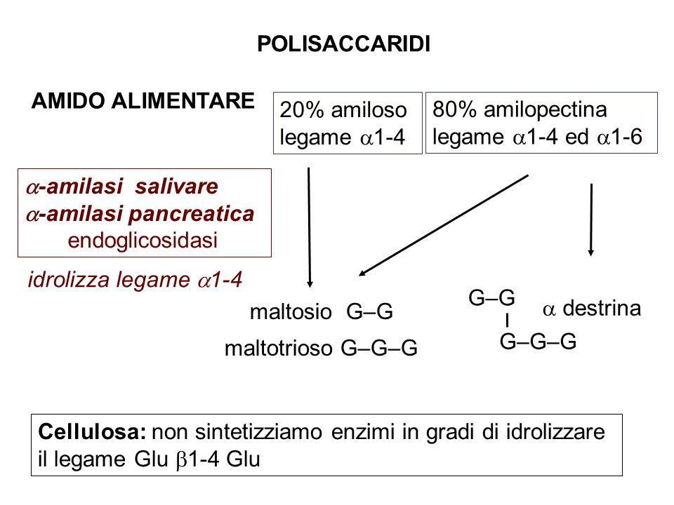 80% amilopectina legame  1-4 ed  1-6  -amilasi salivare  -amilasi pancreatica endoglicosidasi 20% amiloso legame  1-4 AMIDO ALIMENTARE maltosio G–G maltotrioso G–G–G idrolizza legame  1-4 POLISACCARIDI Cellulosa: non sintetizziamo enzimi in gradi di idrolizzare il legame Glu  1-4 Glu  destrina G–G G–G–G