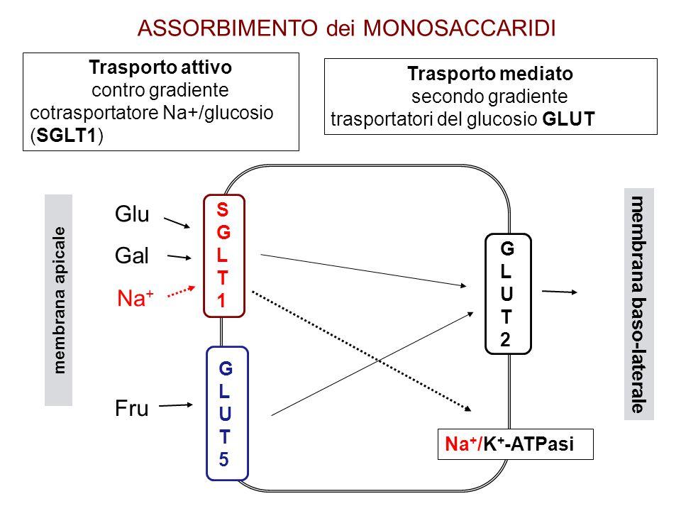 Trasporto attivo contro gradiente cotrasportatore Na+/glucosio (SGLT1) Trasporto mediato secondo gradiente trasportatori del glucosio GLUT ASSORBIMENTO dei MONOSACCARIDI membrana baso-laterale membrana apicale GLUT2GLUT2 GLUT5GLUT5 SGLT1SGLT1 Na + /K + -ATPasi Glu Gal Na + Fru