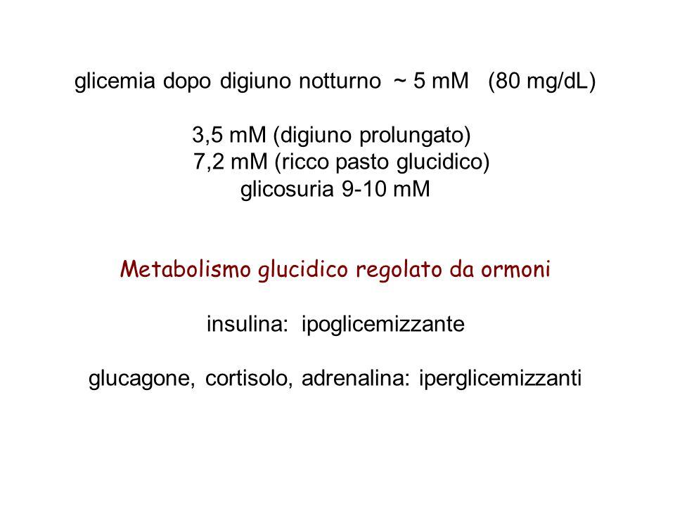 glicemia dopo digiuno notturno ~ 5 mM (80 mg/dL) 3,5 mM (digiuno prolungato) 7,2 mM (ricco pasto glucidico) glicosuria 9-10 mM Metabolismo glucidico regolato da ormoni insulina: ipoglicemizzante glucagone, cortisolo, adrenalina: iperglicemizzanti
