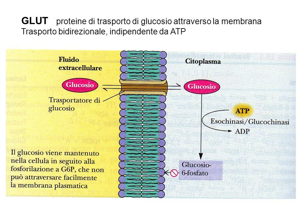 GLUT proteine di trasporto di glucosio attraverso la membrana Trasporto bidirezionale, indipendente da ATP