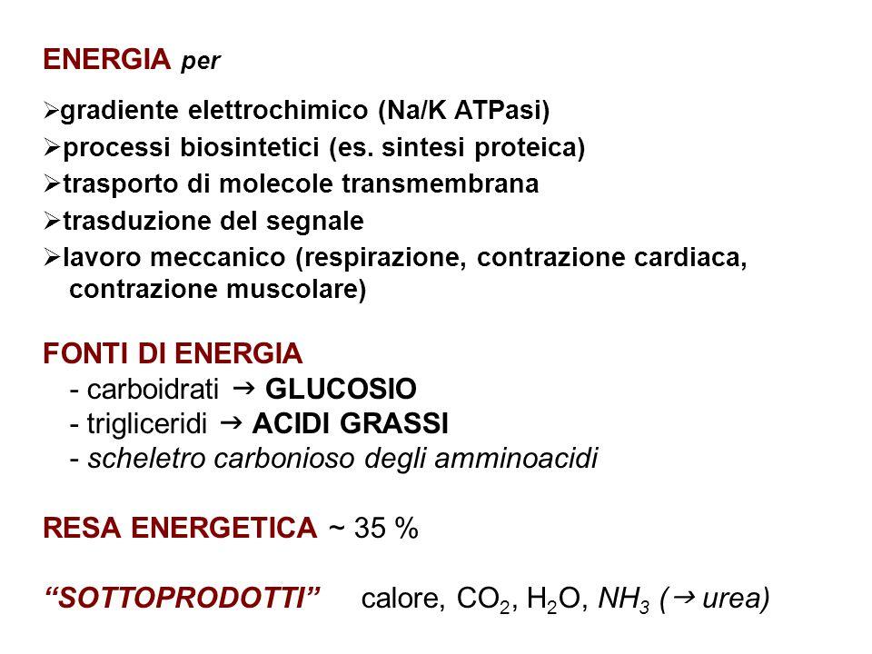 ENERGIA per  gradiente elettrochimico (Na/K ATPasi)  processi biosintetici (es.