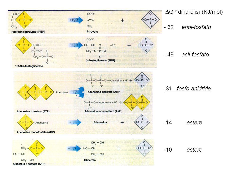 - 62 enol-fosfato - 49 acil-fosfato -31 fosfo-anidride -14 estere -10 estere  G o ' di idrolisi (KJ/mol)