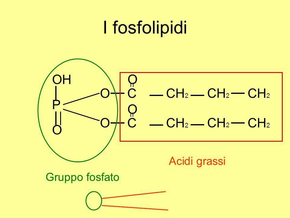 I fosfolipidi OH P O CCH 2 OC O Acidi grassi Gruppo fosfato O O