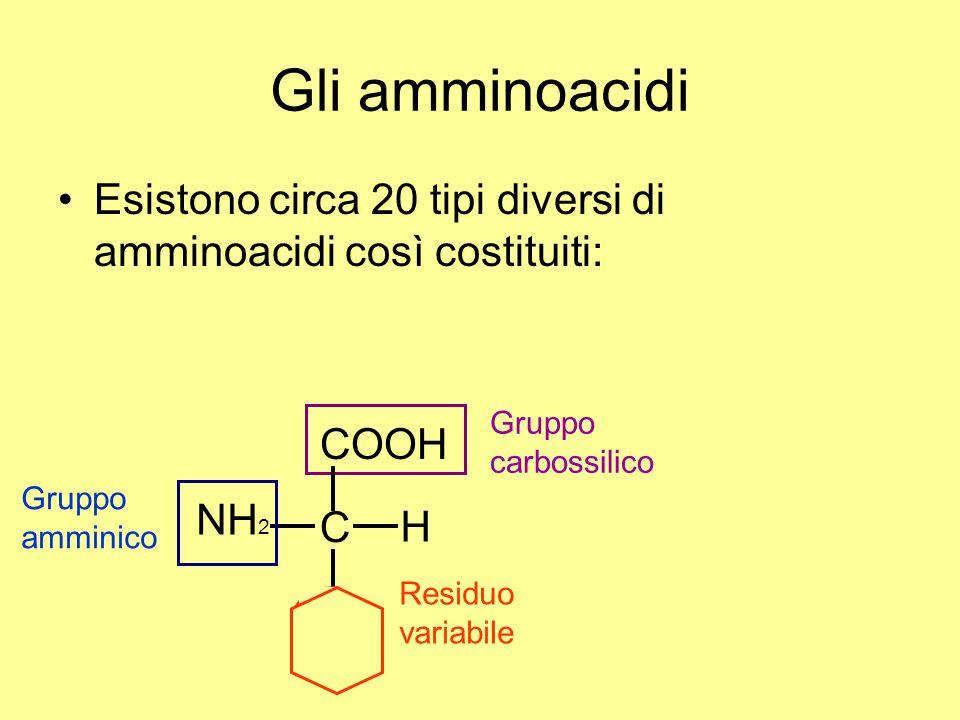 Gli amminoacidi Esistono circa 20 tipi diversi di amminoacidi così costituiti: COOH H C NH 2 R Gruppo carbossilico Gruppo amminico Residuo variabile H