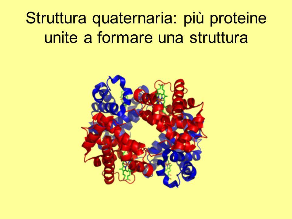 Struttura quaternaria: più proteine unite a formare una struttura