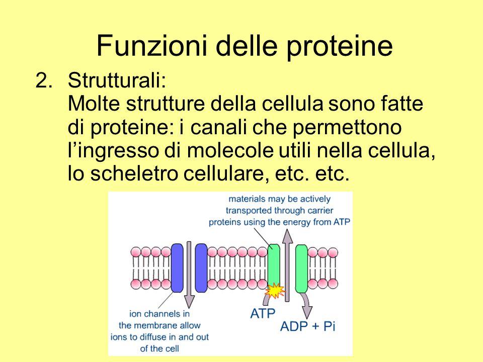 2.Strutturali: Molte strutture della cellula sono fatte di proteine: i canali che permettono l'ingresso di molecole utili nella cellula, lo scheletro