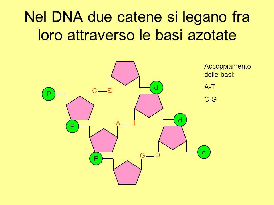 Nel DNA due catene si legano fra loro attraverso le basi azotate P C P A P G P C P T P G Accoppiamento delle basi: A-T C-G