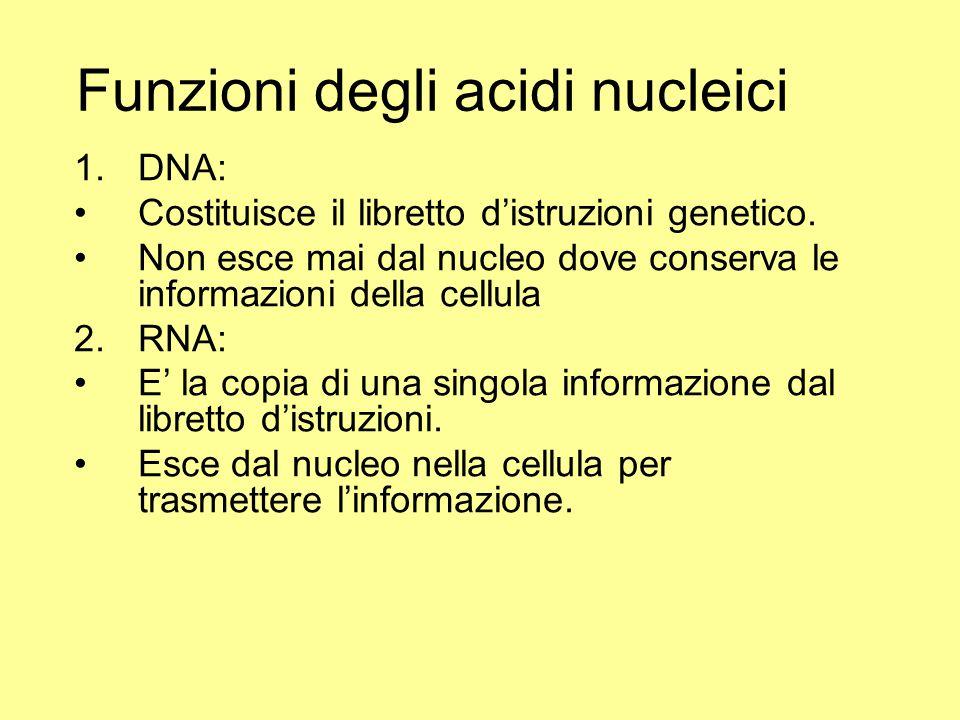 Funzioni degli acidi nucleici 1.DNA: Costituisce il libretto d'istruzioni genetico. Non esce mai dal nucleo dove conserva le informazioni della cellul