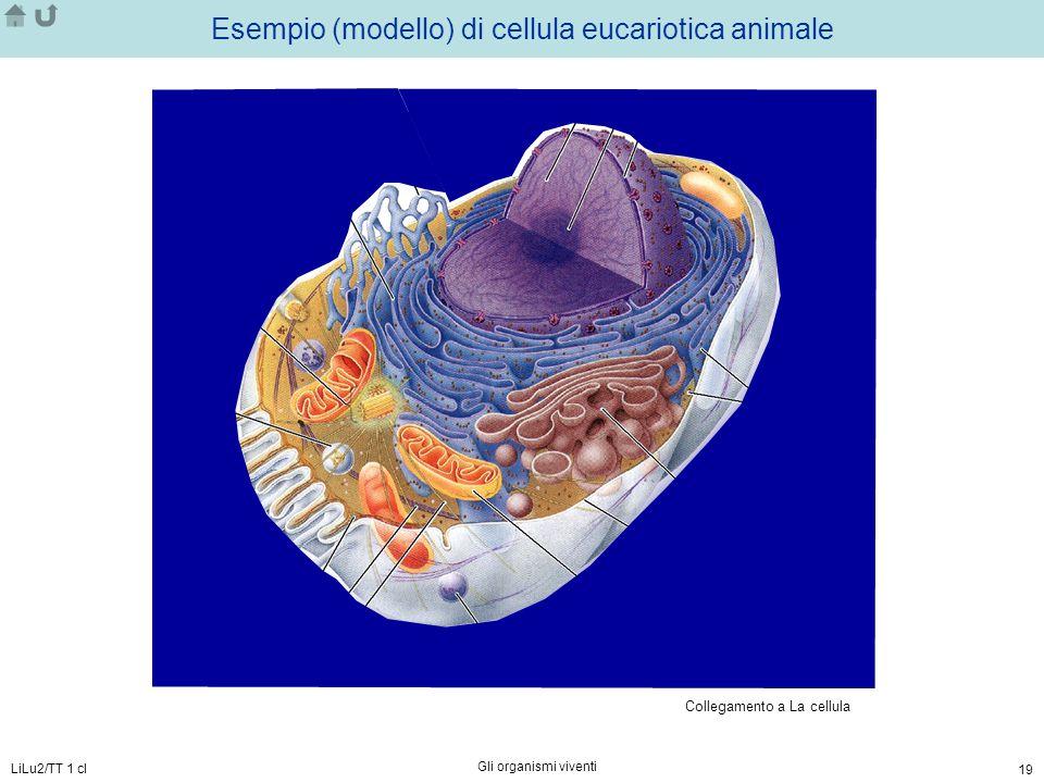 LiLu2/TT 1 cl Gli organismi viventi 19 Esempio (modello) di cellula eucariotica animale Collegamento a La cellula