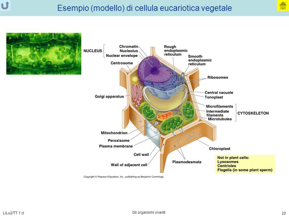 LiLu2/TT 1 cl Gli organismi viventi 20 Esempio (modello) di cellula eucariotica vegetale