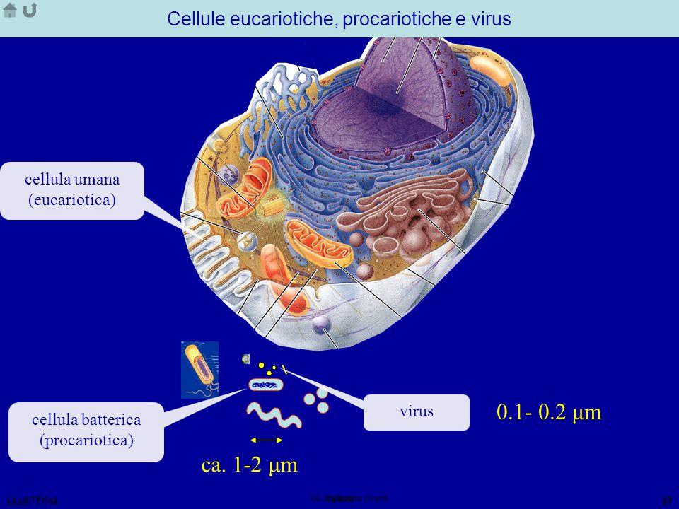 LiLu2/TT 1 cl Gli organismi viventi 27 LiLu2, TT/04 Cellula 27 ca. 30 μm Cellule eucariotiche, procariotiche e virus cellula umana (eucariotica) cellu