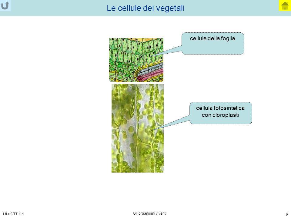 LiLu2/TT 1 cl Gli organismi viventi 6 Le cellule dei vegetali cellule della foglia cellula fotosintetica con cloroplasti