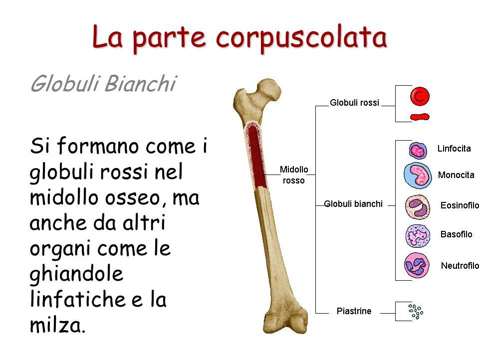 Globuli Bianchi I globuli bianchi (o leucociti) hanno una funzione di difesa dell'organismo. Alcuni servono a distruggere le sostanze estranee penetra