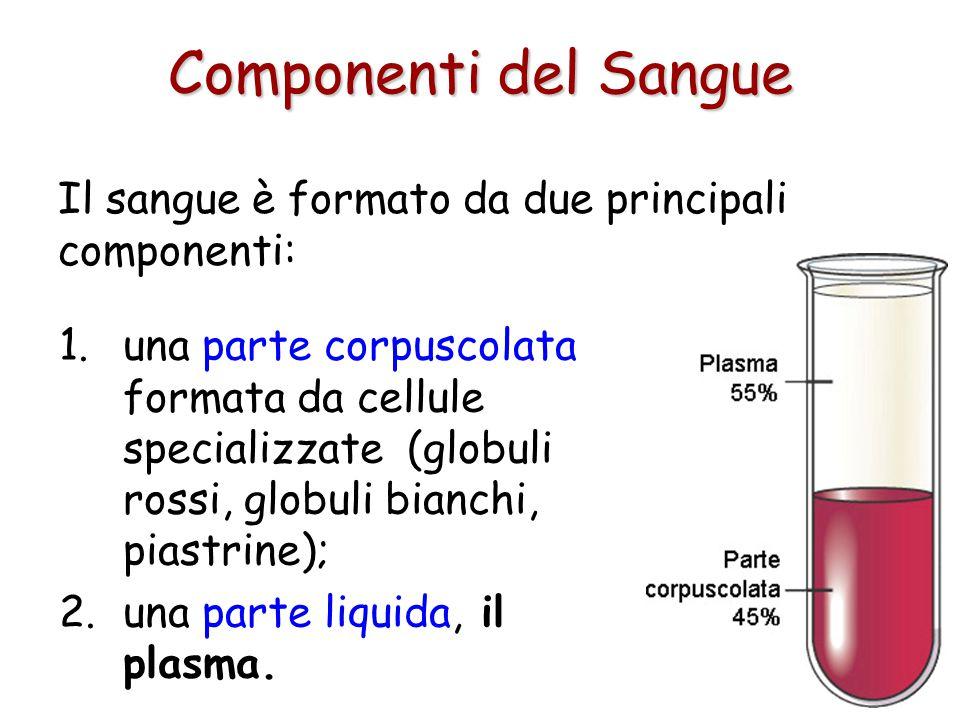 Il sangue ha le seguenti funzioni: trasporta gas disciolti portando ossigeno dai polmoni ai tessuti e anidride carbonica dai tessuti ai polmoni ; dist