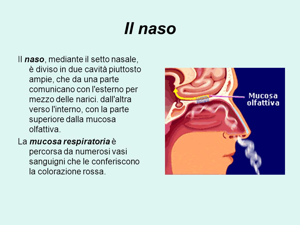 Il naso Il naso, mediante il setto nasale, è diviso in due cavità piuttosto ampie, che da una parte comunicano con l esterno per mezzo delle narici.