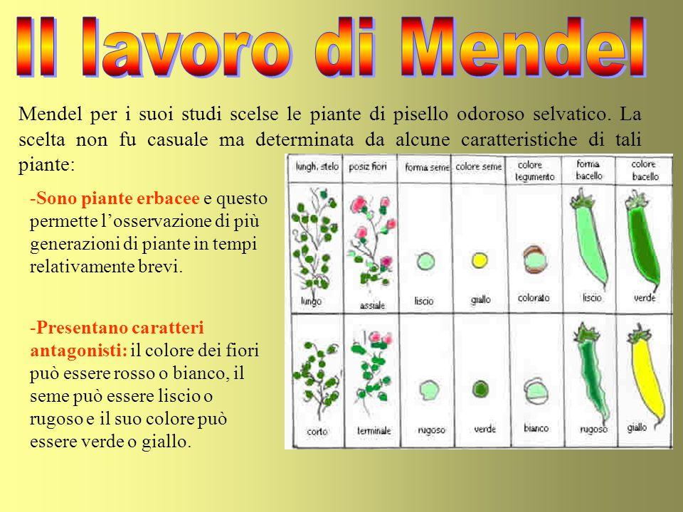 Mendel per i suoi studi scelse le piante di pisello odoroso selvatico. La scelta non fu casuale ma determinata da alcune caratteristiche di tali piant