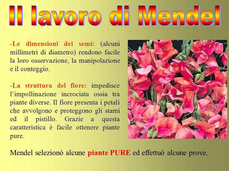 Mendel impollinò piante a fiori rossi con polline di piante a fiori bianchi e viceversa.