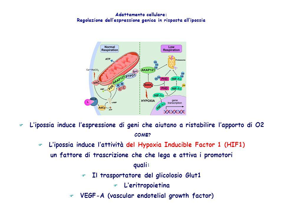 F L'ipossia induce l'espressione di geni che aiutano a ristabilire l'apporto di O2 COME? F L'ipossia induce l'attività del Hypoxia Inducible Factor 1