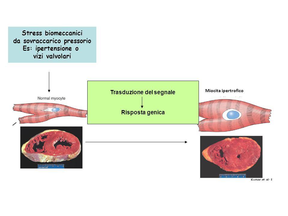 Miocita ipertrofico Stress biomeccanici da sovraccarico pressorio Es: ipertensione o vizi valvolari Trasduzione del segnale Risposta genica