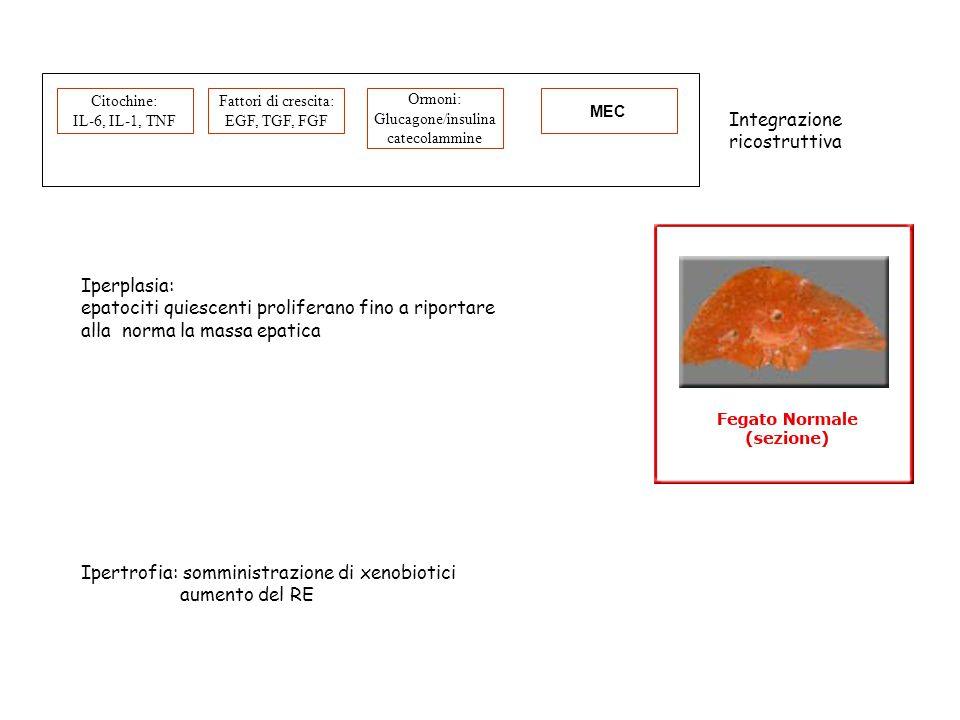 Citochine: IL-6, IL-1, TNF Fattori di crescita: EGF, TGF, FGF Ormoni: Glucagone/insulina catecolammine MEC Iperplasia: epatociti quiescenti proliferan