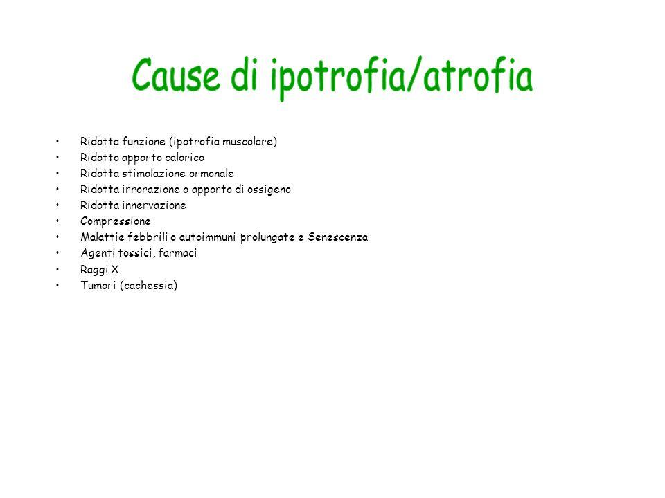 Ridotta funzione (ipotrofia muscolare) Ridotto apporto calorico Ridotta stimolazione ormonale Ridotta irrorazione o apporto di ossigeno Ridotta innerv