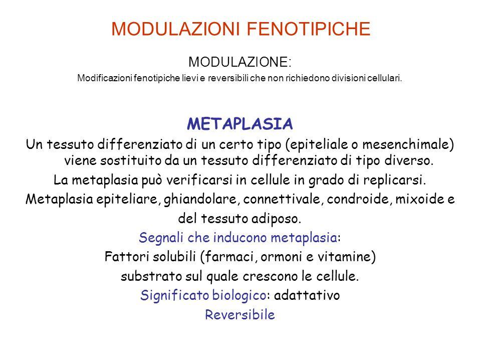 MODULAZIONI FENOTIPICHE MODULAZIONE: Modificazioni fenotipiche lievi e reversibili che non richiedono divisioni cellulari. METAPLASIA Un tessuto diffe