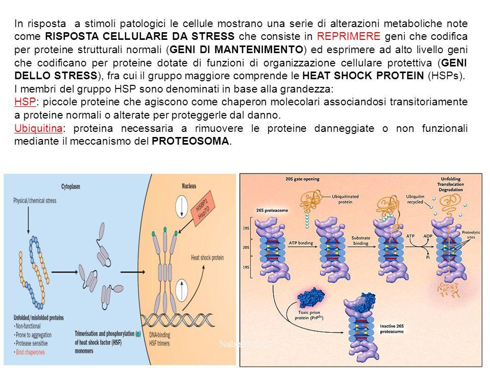 In risposta a stimoli patologici le cellule mostrano una serie di alterazioni metaboliche note come RISPOSTA CELLULARE DA STRESS che consiste in REPRIMERE geni che codifica per proteine strutturali normali (GENI DI MANTENIMENTO) ed esprimere ad alto livello geni che codificano per proteine dotate di funzioni di organizzazione cellulare protettiva (GENI DELLO STRESS), fra cui il gruppo maggiore comprende le HEAT SHOCK PROTEIN (HSPs).