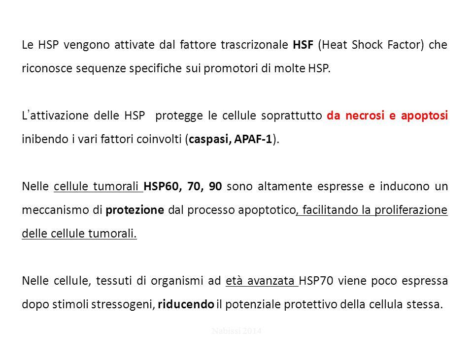 Le HSP vengono attivate dal fattore trascrizonale HSF (Heat Shock Factor) che riconosce sequenze specifiche sui promotori di molte HSP.