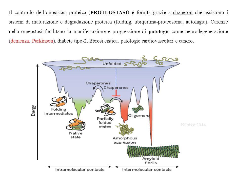 Il controllo dell'omeostasi proteica (PROTEOSTASI) è fornita grazie a chaperon che assistono i sistemi di maturazione e degradazione proteica (folding