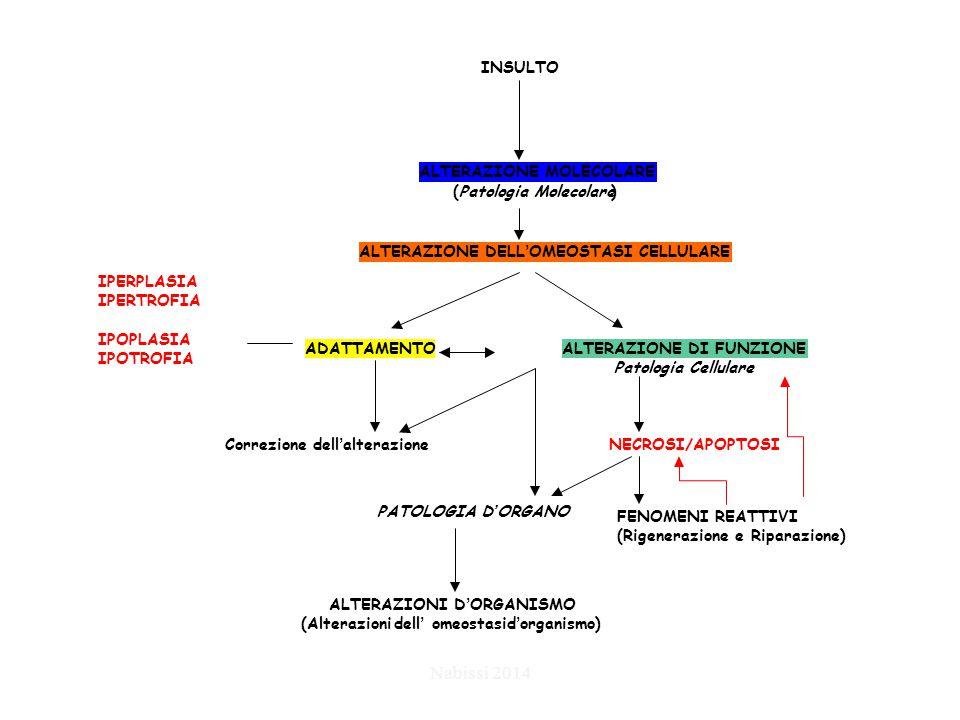 PATOLOGIA D'ORGANO INSULTO ALTERAZIONE MOLECOLARE (Patologia Molecolare) ALTERAZIONE DELL'OMEOSTASI CELLULARE ADATTAMENTOALTERAZIONE DI FUNZIONE Patologia Cellulare Correzione dell'alterazioneNECROSI/APOPTOSI ALTERAZIONI D'ORGANISMO (Alterazionidell' omeostasid'organismo) FENOMENI REATTIVI (Rigenerazione e Riparazione) IPERPLASIA IPERTROFIA IPOPLASIA IPOTROFIA Nabissi 2014