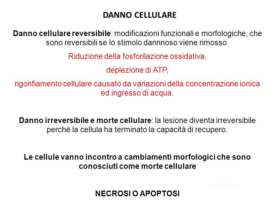 DANNO CELLULARE Danno cellulare reversibile: modificazioni funzionali e morfologiche, che sono reversibili se lo stimolo dannnoso viene rimosso. Riduz