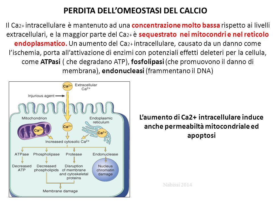 PERDITA DELL'OMEOSTASI DEL CALCIO Il Ca 2+ intracellulare è mantenuto ad una concentrazione molto bassa rispetto ai livelli extracellulari, e la maggior parte del Ca 2+ è sequestrato nei mitocondri e nel reticolo endoplasmatico.