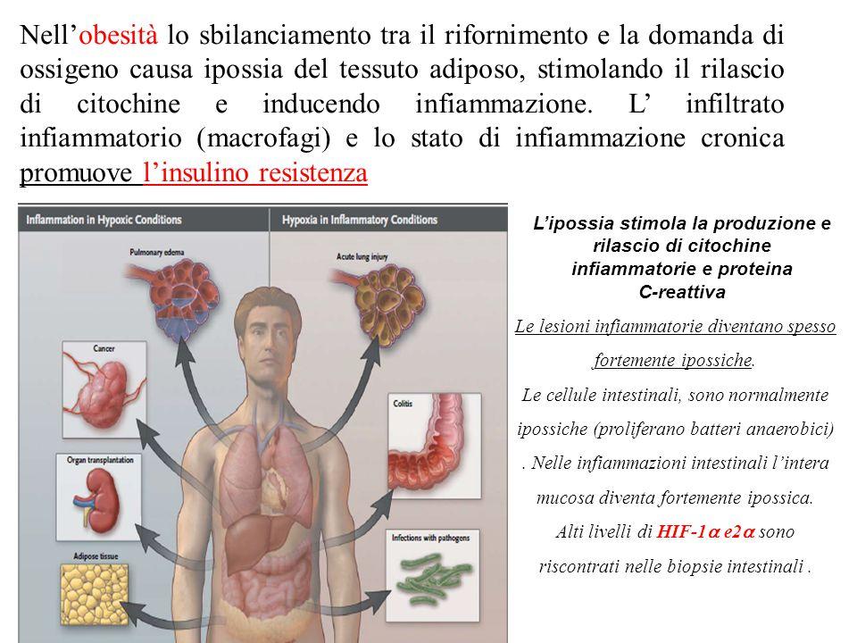 Nell'obesità lo sbilanciamento tra il rifornimento e la domanda di ossigeno causa ipossia del tessuto adiposo, stimolando il rilascio di citochine e inducendo infiammazione.