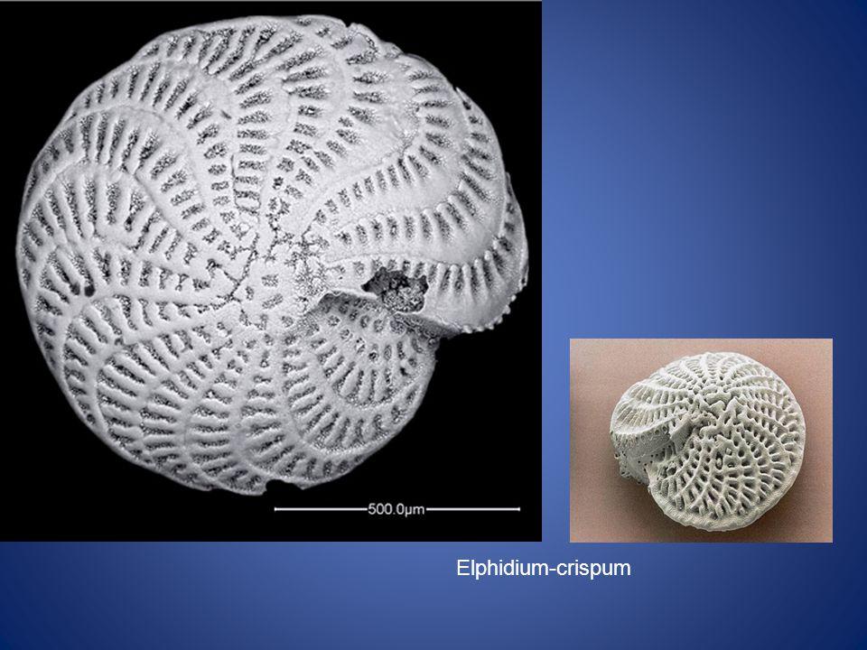 Elphidium-crispum