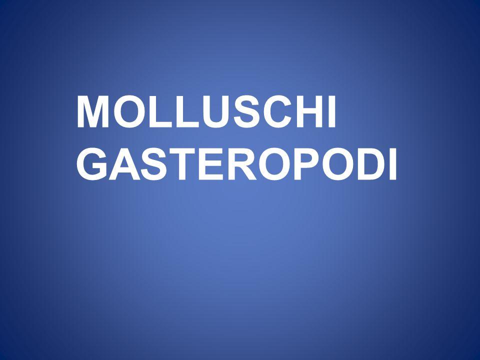 MOLLUSCHI GASTEROPODI