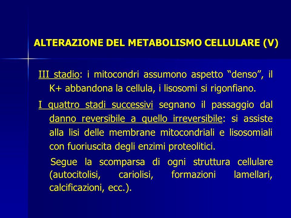 III stadio: i mitocondri assumono aspetto denso , il K+ abbandona la cellula, i lisosomi si rigonfiano.