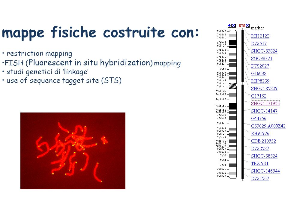 mappe fisiche costruite con: restriction mapping FISH ( Fluorescent in situ hybridization ) mapping studi genetici di 'linkage' use of sequence tagget site (STS)