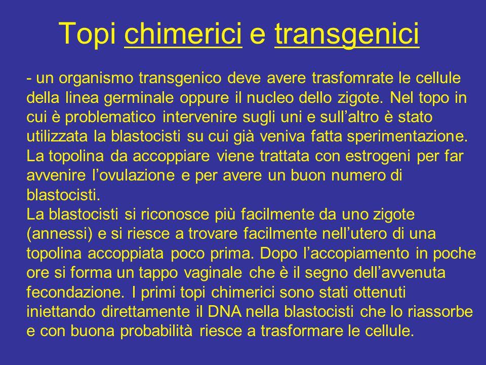 Topi chimerici e transgenici - un organismo transgenico deve avere trasfomrate le cellule della linea germinale oppure il nucleo dello zigote. Nel top