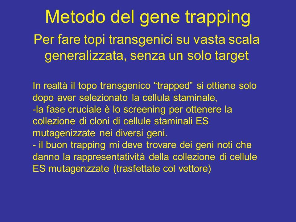 """Metodo del gene trapping Per fare topi transgenici su vasta scala generalizzata, senza un solo target In realtà il topo transgenico """"trapped"""" si ottie"""