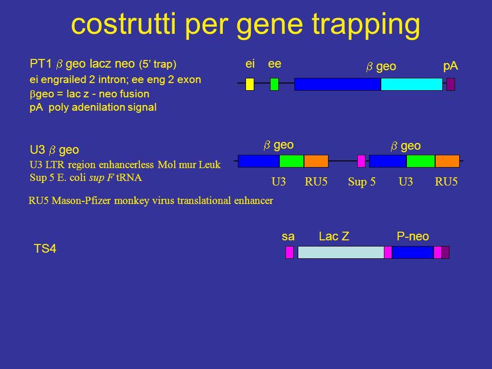 costrutti per gene trapping pA  geo eeei PT1  geo lacz neo (5' trap) ei engrailed 2 intron; ee eng 2 exon  geo = lac z - neo fusion pA poly adenila